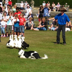 K9 Quackers sheepdog duck herding show